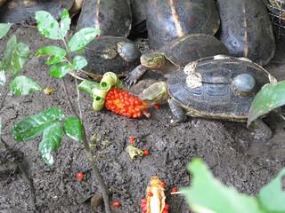 收容在中興大學野生動物收容所的3000隻食蛇龜,有可能受惠於護生,福智團體已提供野放地點。(攝影:楊茵洳)