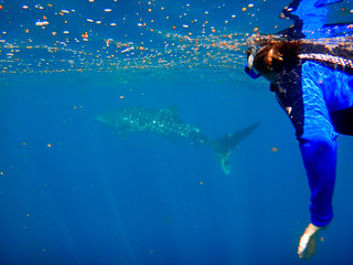 Snorkelling with a 2.5 metre Whale Shark