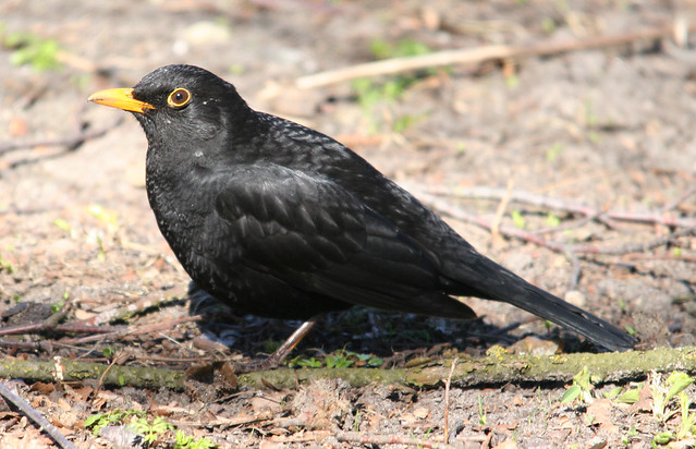 eurasian blackbird (3)