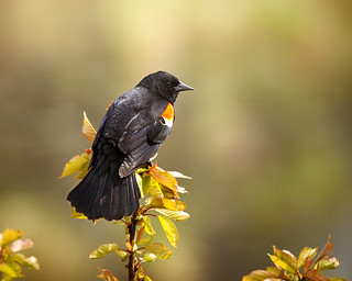 redwing blackbird_2879