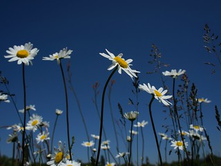 Among the Daisies ...