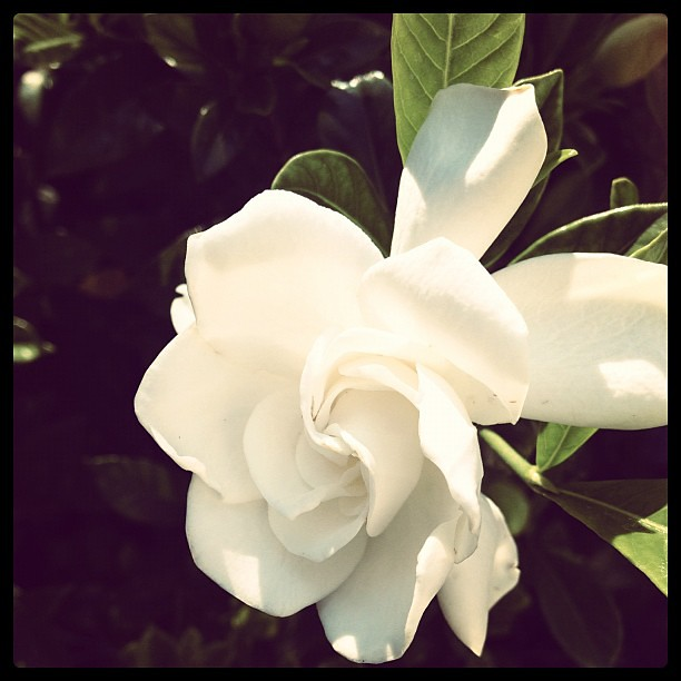Beautiful gardenia at my in-laws house.