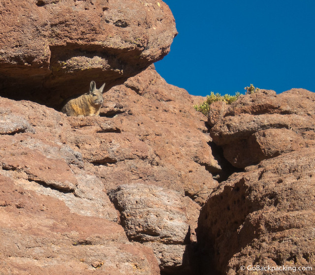A Viscacha keeps watch