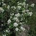 Small photo of Amelanchier