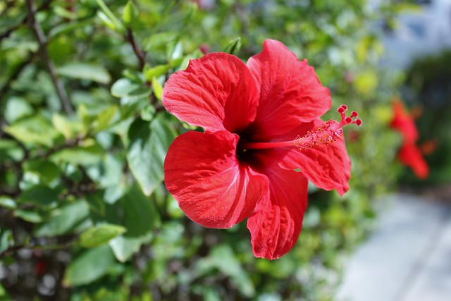Marocko hibiskus
