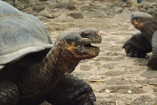 Galapagos tortoises (Chelonoidis nigra sp.) at the Charles Darwin Research Station, Santa Cruz, Galapagos Islands