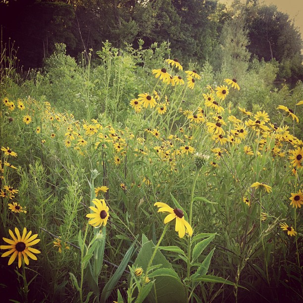 Date night walk! Black-Eyed Susans along the way. #summertime #wildflowers