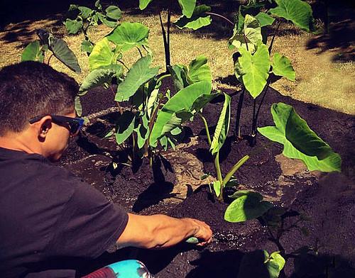 <p>University of Hawaii at Manoa graduate student Kaulana Vares setting up the loi at the Smithsonian Folklife Festival on National Mall</p>