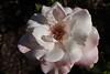 178/366 Rose