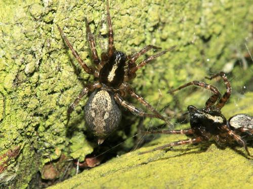 Spider 8984