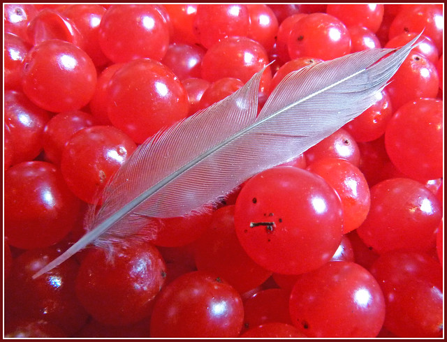 Feather on a Field of Berries