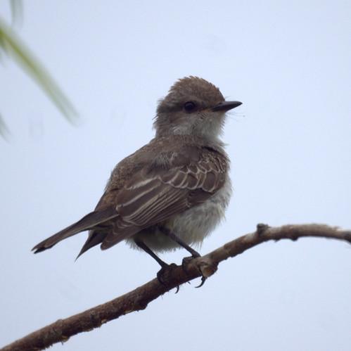 Vermilion Flycatcher (Juvenile)