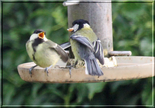 Great Tit Parent and Fledgling