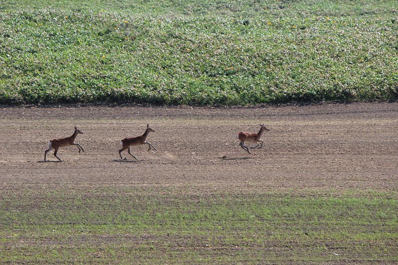 稚内へ向かうオロロンで鹿 その2