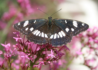 Greece, Peloponnese, White Admiral (Limentis Reducta)
