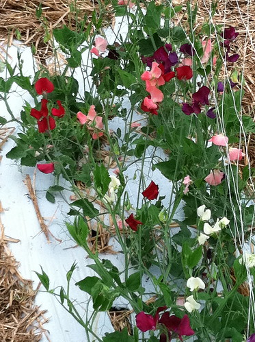 sweet peas by Shady Grove Gardens