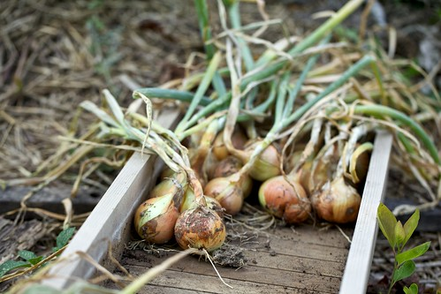 Harvesting 'Forum' Onions