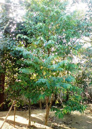 Agar Tree