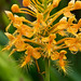 Platanthera ciliaris (Yellow fringed orchid)  in the front yard bog garden by jimf_29605