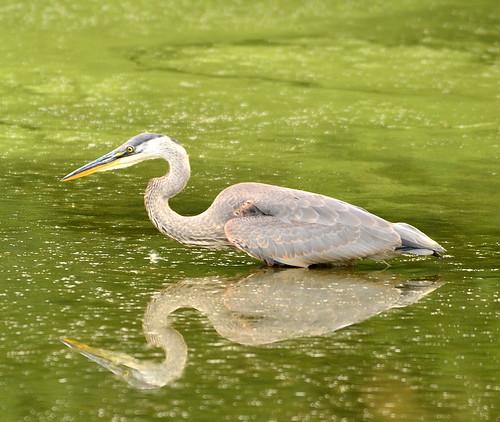 reflection green bird heron nature water neck mirror nikon feathers 500mm bombayhook d3100