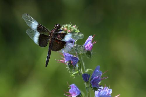 macro dragonfly 100400l