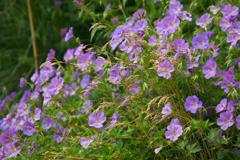geranium rozanne & deschampsia  1847