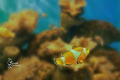 coral reef, animal, anemone fish, fish, coral reef fish, organism, marine biology, underwater, reef,
