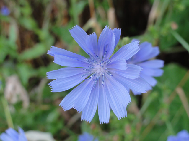 Chicory in Bloomington