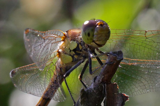 Dragonfly Common Darter  head shot Minsmere 23.7.2012 (1)