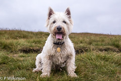 dandie dinmont terrier(0.0), dog breed(1.0), animal(1.0), berger picard(1.0), dog(1.0), pet(1.0), australian silky terrier(1.0), norfolk terrier(1.0), glen of imaal terrier(1.0), vulnerable native breeds(1.0), norwich terrier(1.0), cairn terrier(1.0), australian terrier(1.0), west highland white terrier(1.0), carnivoran(1.0), scottish terrier(1.0), terrier(1.0),