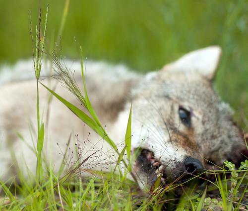 Coyote VII