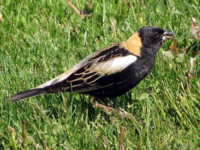 Bobolink eating dandelion seeds
