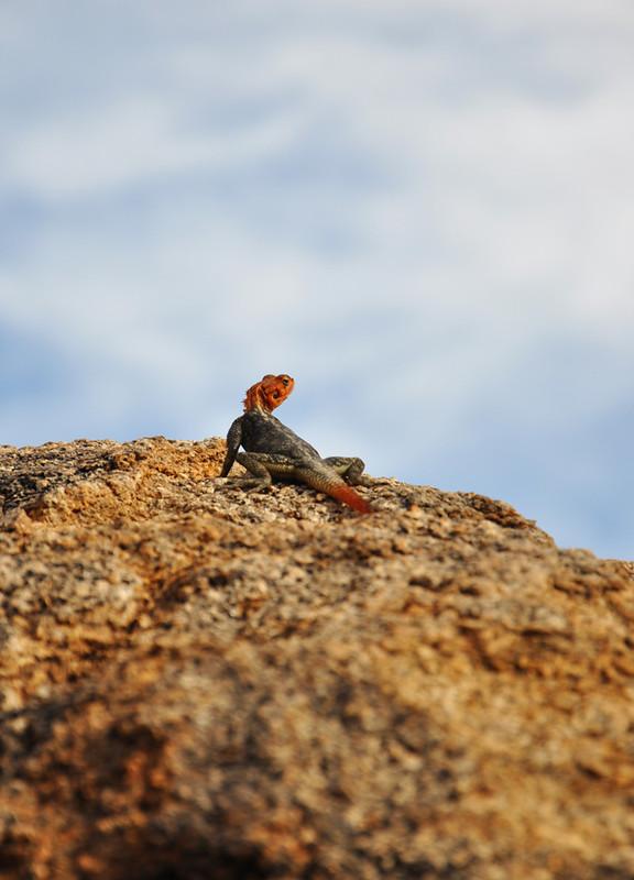 Eidechse in Namibia