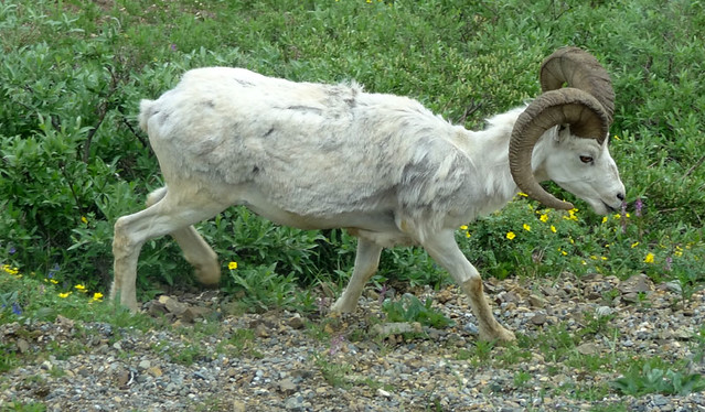 dall-sheep-denali