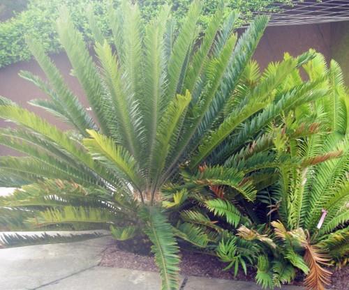 Encephalartos lebomboensis 7667726028_b1dc1cf1ae_o
