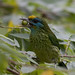 Yellow-fronted Barbet - endemic (Colin Brown)