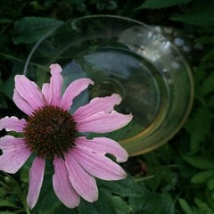 Echinacea. Bowl of water.