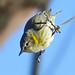 Cape May Warbler ♀