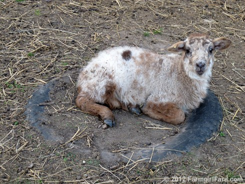 Random Lamb Snaps 17 - FarmgirlFare.com