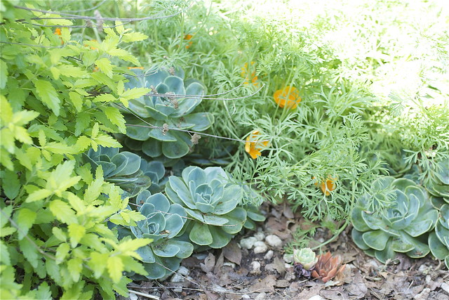 succulents and california poppies