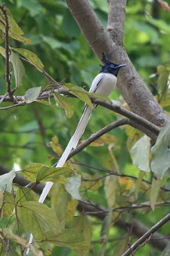 Asian Paradise Flycatcher(Male)
