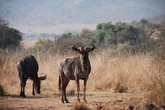 adventure(0.0), herd(0.0), mustang horse(0.0), wildebeest(1.0), plain(1.0), grazing(1.0), fauna(1.0), savanna(1.0), grassland(1.0), safari(1.0), wildlife(1.0),