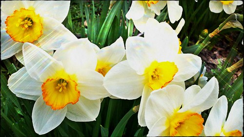 daffodilso-matic