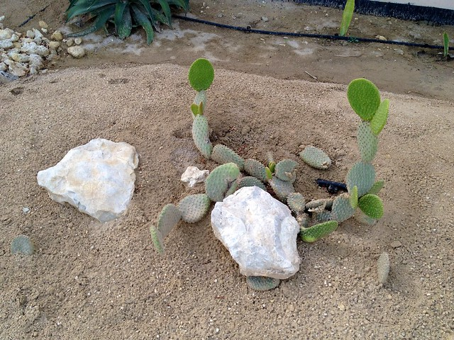 I will survive! vandalized cactus plant