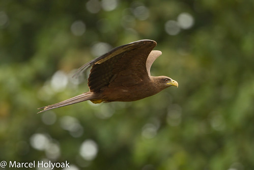 birds kites milvusmigrans blackkite raptors cameroon littoral yellowbilledkite milvusaegyptius milvusmigransaegyptius sanagariver