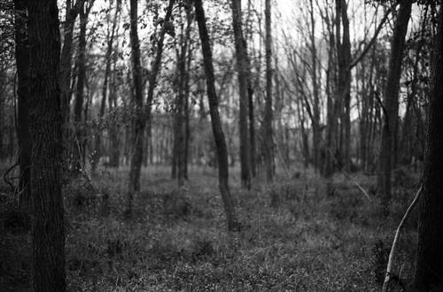 Light Woods II