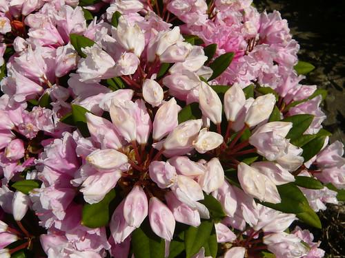 June garden 069  Rhododendron