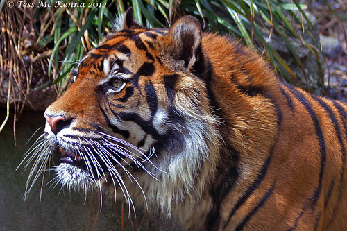Sumatran Tiger Profile.  077 copy