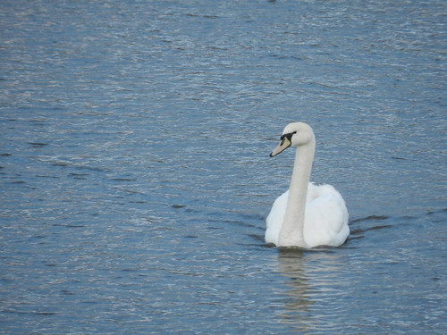 Venus Transit morning in Bray Harbour - swan