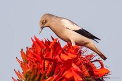 White-shouldered Starling — Sturnia sinensis — นกกิ้งโครงแกลบปีกขาว